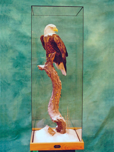bald eagle mounted in glass case