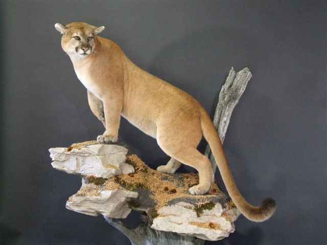 life size cougar mount on form #905
