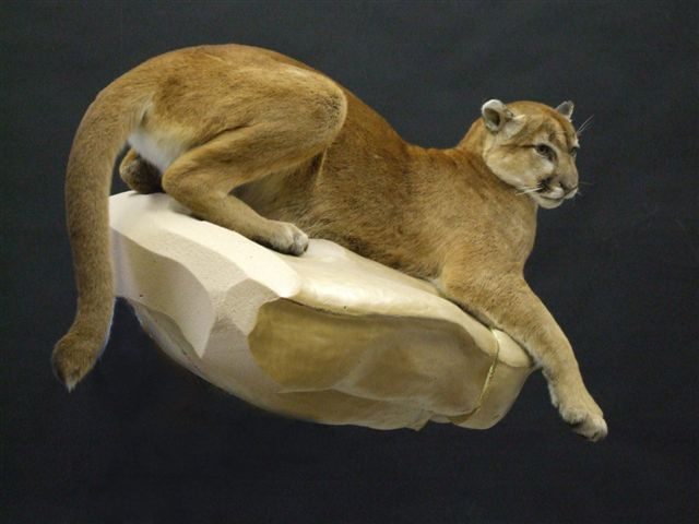 life size cougar mount on form #800