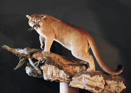 life size cougar mount on form #900