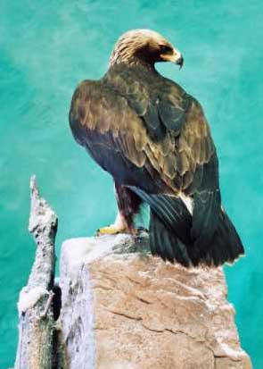 golden eagle mounted in glass case