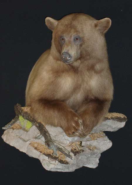 Blonde Bear mounted on Summit Taxidermy Front Half Bear form #111