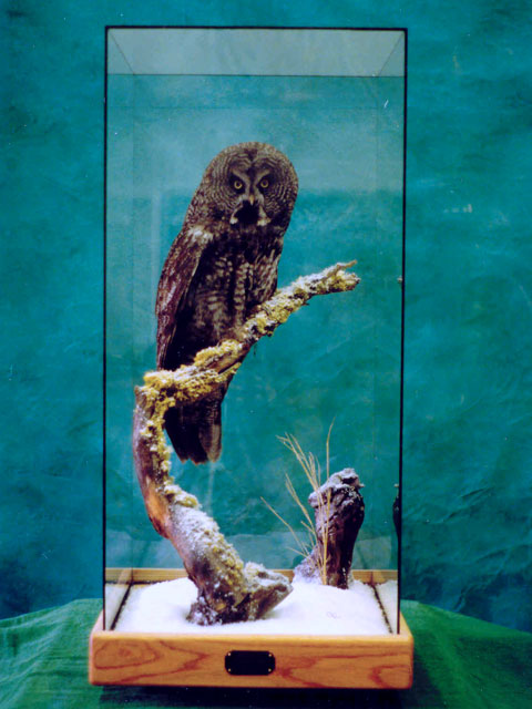 great grey owl mounted in glass case