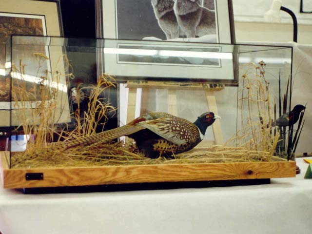 ringneck pheasant in glass case