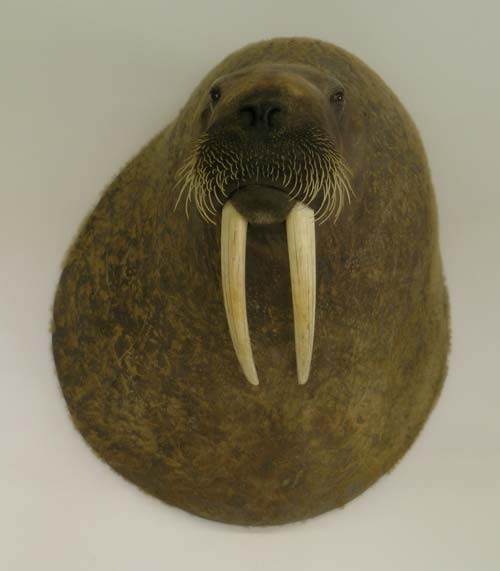walrus shoulder mount